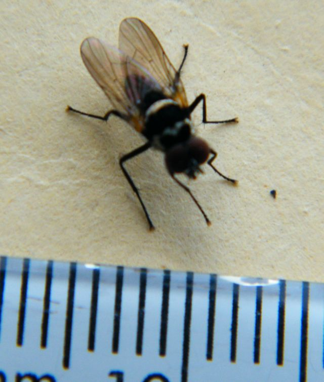 Anthomyia_sp._54_2