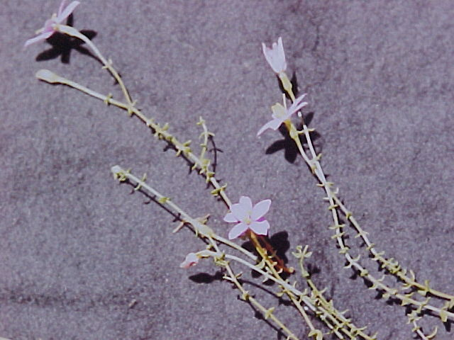 Chironia_serpyllifolia_0