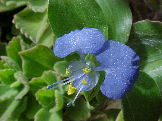 Commelina_benghalensis_0